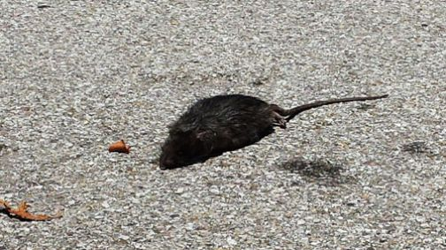 Reino, le strade invase da grossi ratti