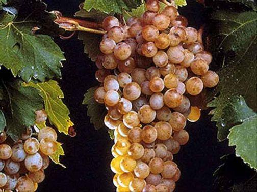 Comparto vitivinicolo la Regione approva il Progetto Integrato di Filiera 'Vitis'