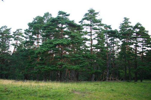 Processionaria del pino, obbligo di controllo per i proprietari di aree verdi e agricole