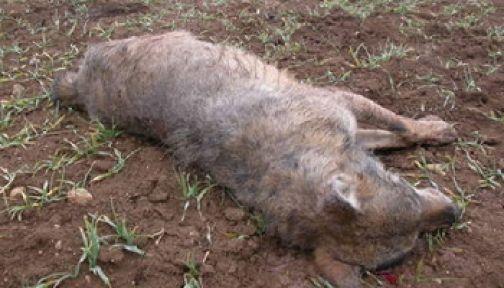 Asl, il Servizio Veterinario rimuove carcassa di lupo a Tufara Valle