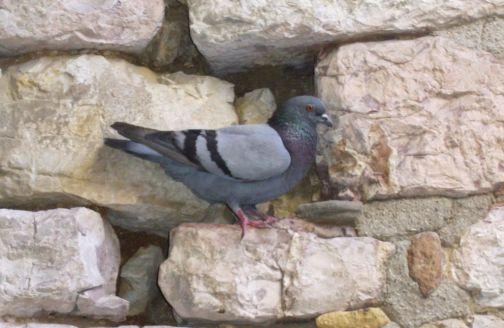 Emanata un'ordinanza per contrastare l'aumento delle colonie di colombi e piccioni